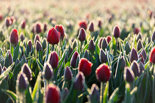 Close up of red tulips in bloom in the countryside of Berkmeer, municipality of Koggenland, North Hoの写真素材 [FYI03793651]
