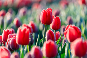Close up of red tulips in bloom in the countryside of Berkmeer, municipality of Koggenland, North Hoの写真素材 [FYI03793652]