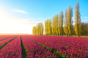 The blue sky at dawn and colourful fields of tulips in bloom surrounded by tall trees, De Rijp, Alkmの写真素材 [FYI03793653]