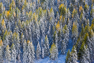 Aerial view of larches in the woods covered with snow during the fall season, Chiavenna Valley, Valtの写真素材 [FYI03793662]