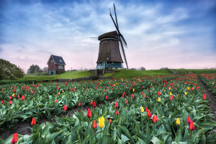 View of multi-coloured fields of tulips and windmills at spring, Berkmeer, Koggenland, North Hollandの写真素材 [FYI03793785]