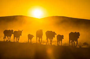 Backlight of cattle on way home at sunset, Twyfelfontein, Damaraland, Namibia, Africaの写真素材 [FYI03793803]