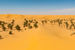 Palm grove in the sanddunes, near Timimoun, western Algeria, North Africa, Africaの写真素材 [FYI03794000]