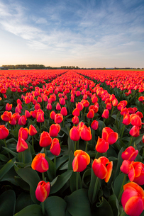 Tulip fields around Lisse, South Holland, The Netherlands, Europeの写真素材 [FYI03794156]