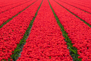Tulips fields in Lisse, South Holland, The Netherlands, Europeの写真素材 [FYI03794160]