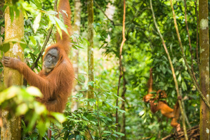 Female Orangutan Sumatra with babies (Pongo abelii), Indonesia, Southeast Asiaの写真素材 [FYI03794879]