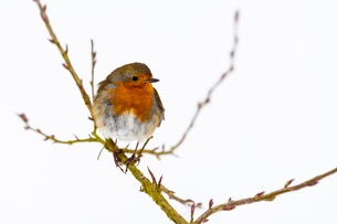European robin (Erithacus rubecula), in winter, Kent, England, United Kingdom, Europeの写真素材 [FYI03794896]