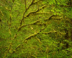 Hoh Rainforest, Olympic National Park, UNESCO World Heritage Site, Washington State, United States oの写真素材 [FYI03794987]