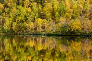 Silver birch (Betula pendula) reflected in lake, autumn colour, Senja, Norway, Scandinavia, Europeの写真素材 [FYI03795033]