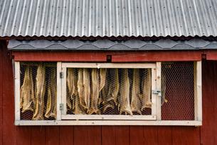 Hanging dried fish, Sandvika, Senja, Norway, Scandinavia, Europeの写真素材 [FYI03795036]