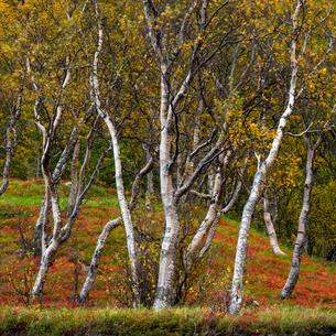 Silver birch (Betula pendula), Anderdalen National Park, Senja, Norway, Scandinavia, Europeの写真素材 [FYI03795054]