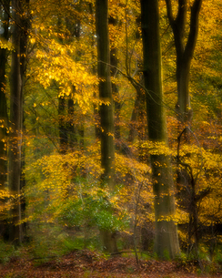 Common beech trees (Fagus sylvatica), autumn colour, Kent, England, United Kingdom, Europeの写真素材 [FYI03795061]