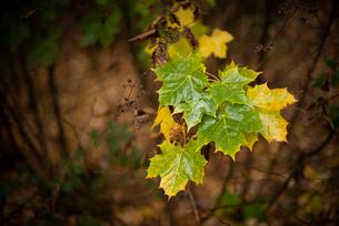 Sycamore (Acer pseudoplatanus) leaves, autumn colour, Kent, England, United Kingdom, Europeの写真素材 [FYI03795080]