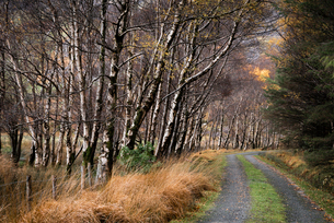 Silver birch (Betula pendula) avenue and track in autumn, The Black Valley, Killarney National Park,の写真素材 [FYI03795090]