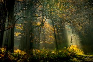 Common beech (Fagus sylvatica) trees, morning sunlight, autumn colour, King's Wood, Challock, Kent,の写真素材 [FYI03795120]
