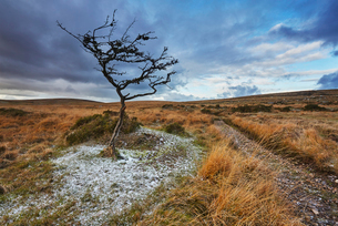 An autumnal view of a wind-gnarled hawthorn tree, on moorland on Gidleigh Common, Dartmoor Nationalの写真素材 [FYI03795131]