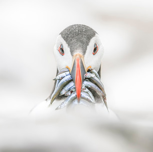 Puffin (Fratercula), Farne Islands, Northumberland, England, United Kingdom, Europeの写真素材 [FYI03795140]