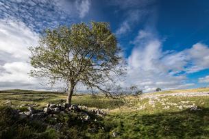 Tree and limestone pavement above Malham, Yorkshire Dales, Yorkshire, England, United Kingdom, Europの写真素材 [FYI03795330]