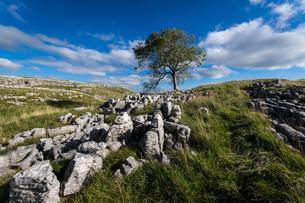 Tree and limestone pavement above Malham, Yorkshire Dales, Yorkshire, England, United Kingdom, Europの写真素材 [FYI03795331]