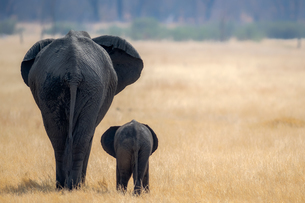Little and Large, elephant calf and mother, Hwange National Park, Zimbabwe, Africaの写真素材 [FYI03795513]