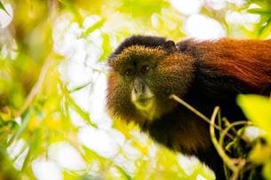 Golden Monkey in Volcanoes National Park, Rwanda, Africaの写真素材 [FYI03795534]