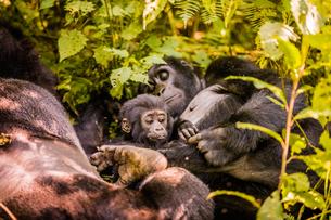 Mountain Gorillas in Bwindi Impenetrable Forest National Park, UNESCO World Heritage Site, Uganda, Eの写真素材 [FYI03795550]