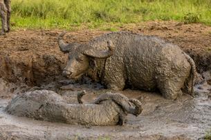 African Cape buffalo in Queen Elizabeth National Park, East Africa, Africaの写真素材 [FYI03795572]