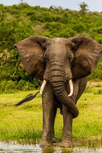 Elephants in Queen Elizabeth National Park, Uganda, East Africa, Africaの写真素材 [FYI03795576]