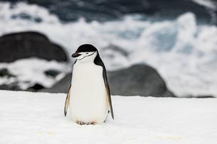 Chinstrap Penguin roaming around in scenic Antarctica, Polar Regionsの写真素材 [FYI03795594]