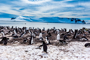 View of Chinstrap Penguins and glaciers in Antarctica, Polar Regionsの写真素材 [FYI03795602]