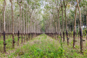 Trees in a rubber plantation in jungle of Cambodia, Indochina, Southeast Asia, Asiaの写真素材 [FYI03795651]