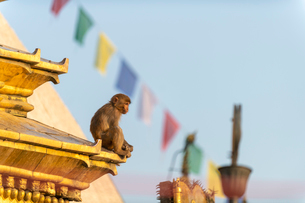 A macaque monkey at Swayambhunath (Monkey Temple) in front of prayer flags, UNESCO World Heritage Siの写真素材 [FYI03795807]