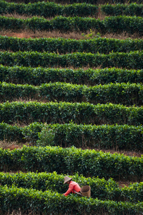 A woman collects tea leaves on a Puer tea estate in Yunnan Province, China, Asiaの写真素材 [FYI03795822]
