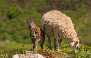 A Soay Hebridean Ewe and lamb at Cleadale crofting community, Isle of Eigg, Small Isles, Inner Hebriの写真素材 [FYI03795920]