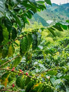 Coffee bush with berries, Hacienda Guayabal, near Manizales, Coffee Region, Colombia, South Americaの写真素材 [FYI03796029]
