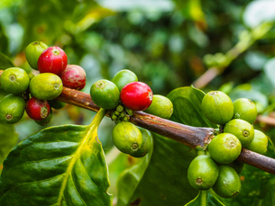 Ripe and unripe coffee berries on a bush, Hacienda Guayabal, near Manizales, Coffee Region, Colombiaの写真素材 [FYI03796033]