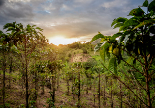 Coffee plantation at sunset, San Agustin, Huila Department, Colombia, South Americaの写真素材 [FYI03796164]
