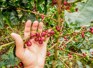Coffee cherries, Coffee Triangle, Salento, Quindio Department, Colombia, South Americaの写真素材 [FYI03796176]