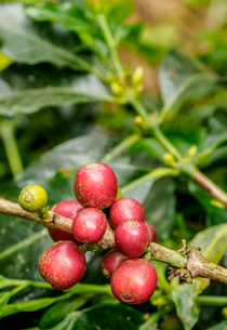 Coffee cherries, Coffee Triangle, Salento, Quindio Department, Colombia, South Americaの写真素材 [FYI03796177]