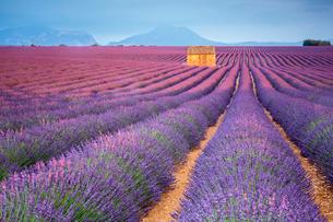 House in a lavender field at sunset, Plateau de Valensole, Alpes-de-Haute-Provence, Provence-Alpes-Cの写真素材 [FYI03796463]