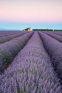 Ruins in a lavender field at dawn, Plateau de Valensole, Alpes-de-Haute-Provence, Provence-Alpes-Cotの写真素材 [FYI03796465]