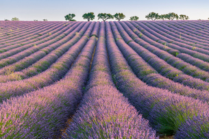 Lavender rows, Plateau de Valensole, Alpes-de-Haute-Provence, Provence-Alpes-Cote d'Azur, France, Euの写真素材 [FYI03796467]