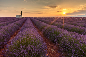 Rural house with tree in a lavender crop at dawn, Plateau de Valensole, Alpes-de-Haute-Provence, Proの写真素材 [FYI03796470]