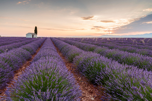 Rural house with tree in a lavender crop at dawn, Plateau de Valensole, Alpes-de-Haute-Provence, Proの写真素材 [FYI03796471]