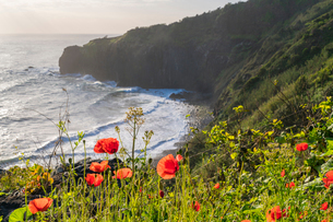 Poppy flowers and Crane viewpoint in the background, Faial, Santana municipality, Madeira, Portugal,の写真素材 [FYI03796524]