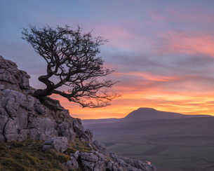 Hawthorn tree and view to Ingleborough Hill from Twisleton Scar above Ingleton, Yorkshire Dales, Norの写真素材 [FYI03796643]