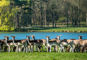 Fallow near the lake at Holkham Park, near the North NoRF-NEolk Coast, NoRF-NEolk, East Anglia, Englの写真素材 [FYI03796712]