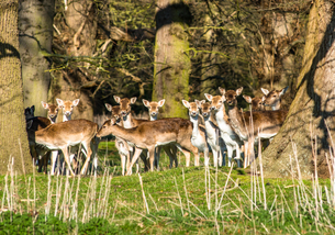 Fallow deer in the woods at Holkham Park, near the North NoRF-NEolk Coast, NoRF-NEolk, East Anglia,の写真素材 [FYI03796713]