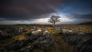 A lone weathered tree in amongst the limestone pavement of the Yorkshire Dales National Park, Yorkshの写真素材 [FYI03797133]