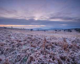 Heavily frosted bracken on the heathland of Woodbury Common, near Exmouth, Devon, England, United Kiの写真素材 [FYI03797213]